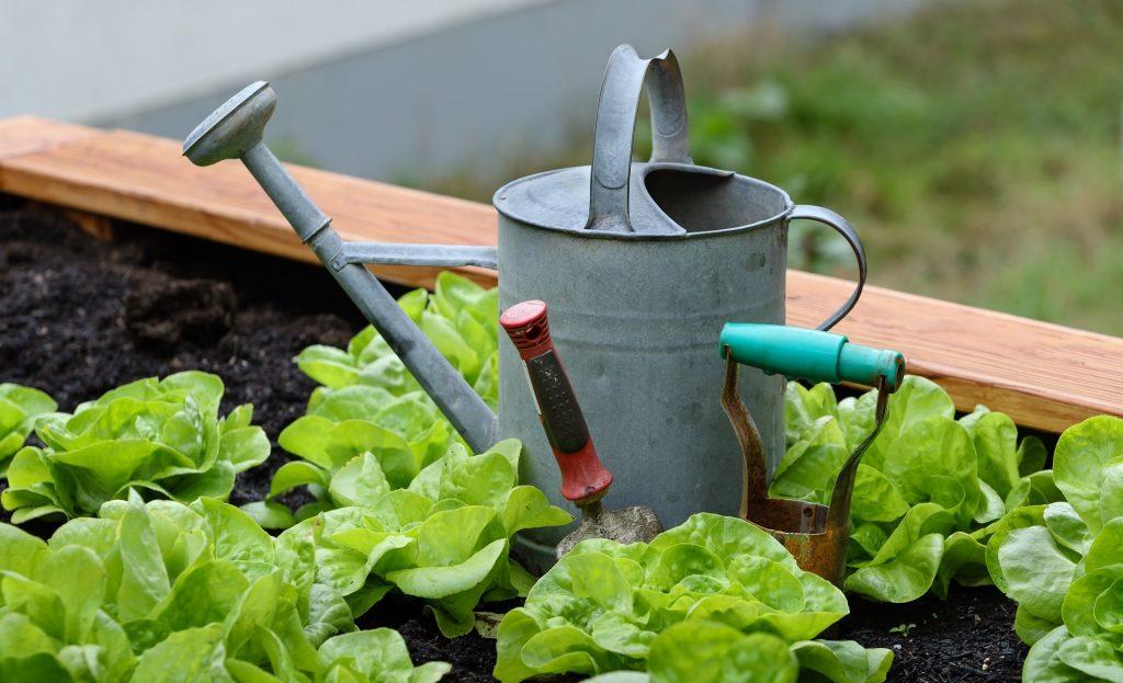 Un annaffiatoio di latta è appoggiato su un orto, circondato da delle giovani piantine di insalata